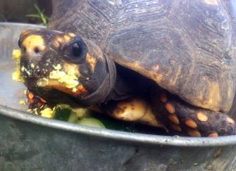 egg face tortoise