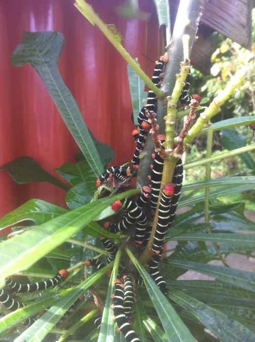 Lots of caterpillars!